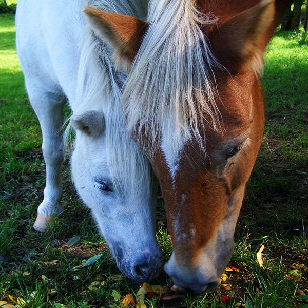 reiki-animalier-cheval