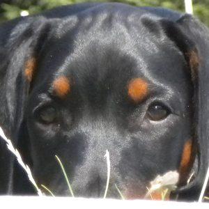reiki-animalier-chien